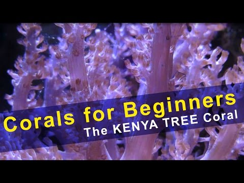 Corals for Beginners - Kenya Tree Coral