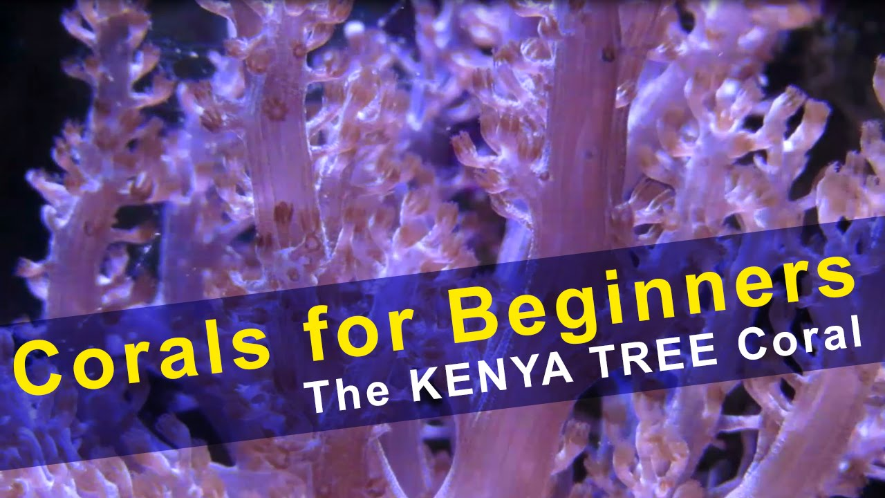 Corals For Beginners Kenya Tree Coral Youtube