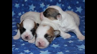 Coton Puppies For Sale - Hannah 1/3/21