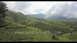 Tea gardens of Munnar, Kerala: high altitude plantations in the Nilgiris and the Western Ghats
