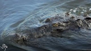 Giant Crocodiles Have Invaded Florida