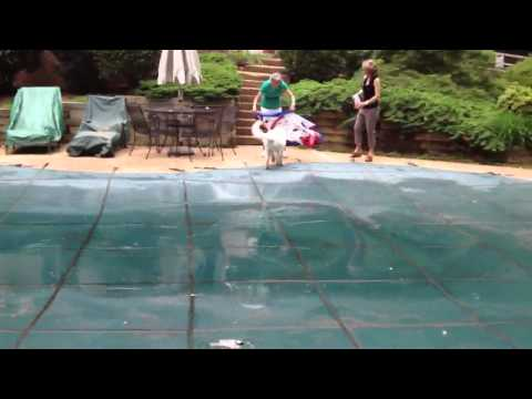 Great Pyrenees Puppy playing in the pool