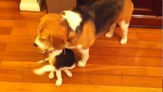 Playful Cute Puppy Bites On Dog's Ears