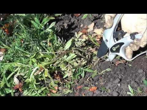Бархатцы и их польза для  почвы.