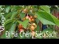 Cuộc Sống CANADA - Hái Cherry Tại Canada | Độc Đáo Nhất Youtube.