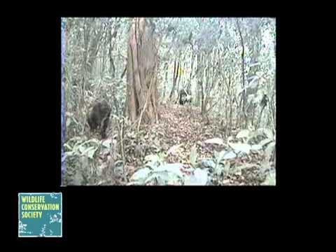 Rare Footage of Cross River Gorillas Captured by Wildlife Conservation Society - Rare Footage of Cross River Gorillas Captured by Wildlife Conservation Society