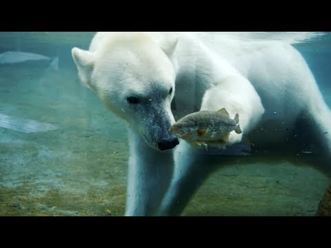 Polar Bears Go Fishing at San Diego Zoo