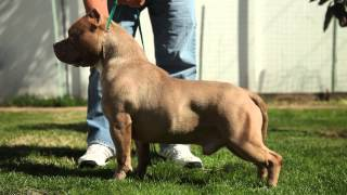 8 Things All Pit Bull Breeders Need to Know(Presented by Bully Max Dog Supplements (http://try.bullymax.com/). Produced by BullyBadAssTV. Featuring ABKC Judge Racheal Ogletree., 2015-02-14T21:28:57.000Z)