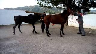 Semental Pura Raza Española PRE / Pure Spanish Horse stallion