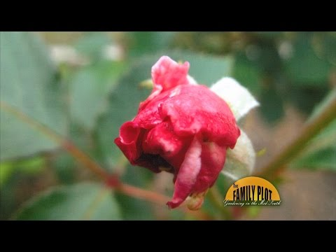 Q&A – Why do my rose buds have shriveled petals?