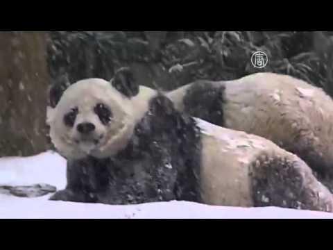 Панда в Вашингтоне наслаждается первым снегом (новости)