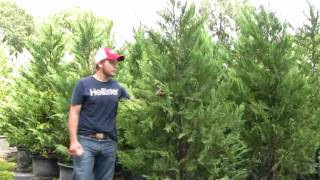 **Leyland Cypress Shrub** +Evergreen Privacy Tree+C. leylandii+