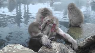 地狱谷野猿公苑是世界上唯一的可以看到猴子泡温泉的极其独特的场所。 而...