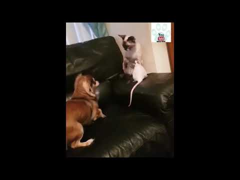 Rat, Cat And Dog Playing