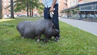 Как живет свинья Варвара с Васильевского острова