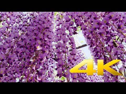 Wisteria Festival Ashikaga Park - Tochigi  - あしかがフラワーパーク - 4K Ultra HD