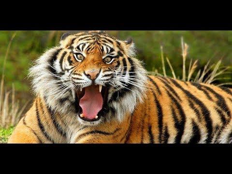 Год тигра характеристика. Гороскоп год