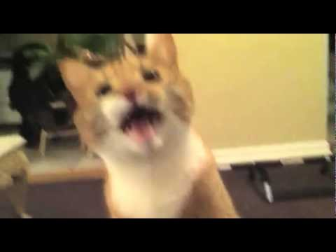 The Screaming Cat - YouTube