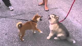 今世界で人気の2大犬種、柴犬vsアラスカン・マラミュートの可愛すぎるけんか