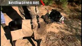 REAL Hogs Gone Wild - Hunting Hogs with Dogs in South Texas