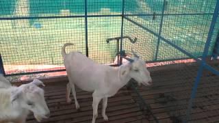 Boer Goat Farm India - Goat Farm Tirunelveli.