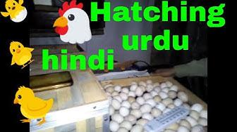 Egg hatching with incubator ( hindi + urdu )