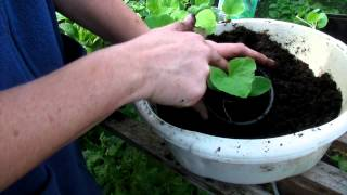 How to pot your cantaloupes - Claire's Allotment Part 232