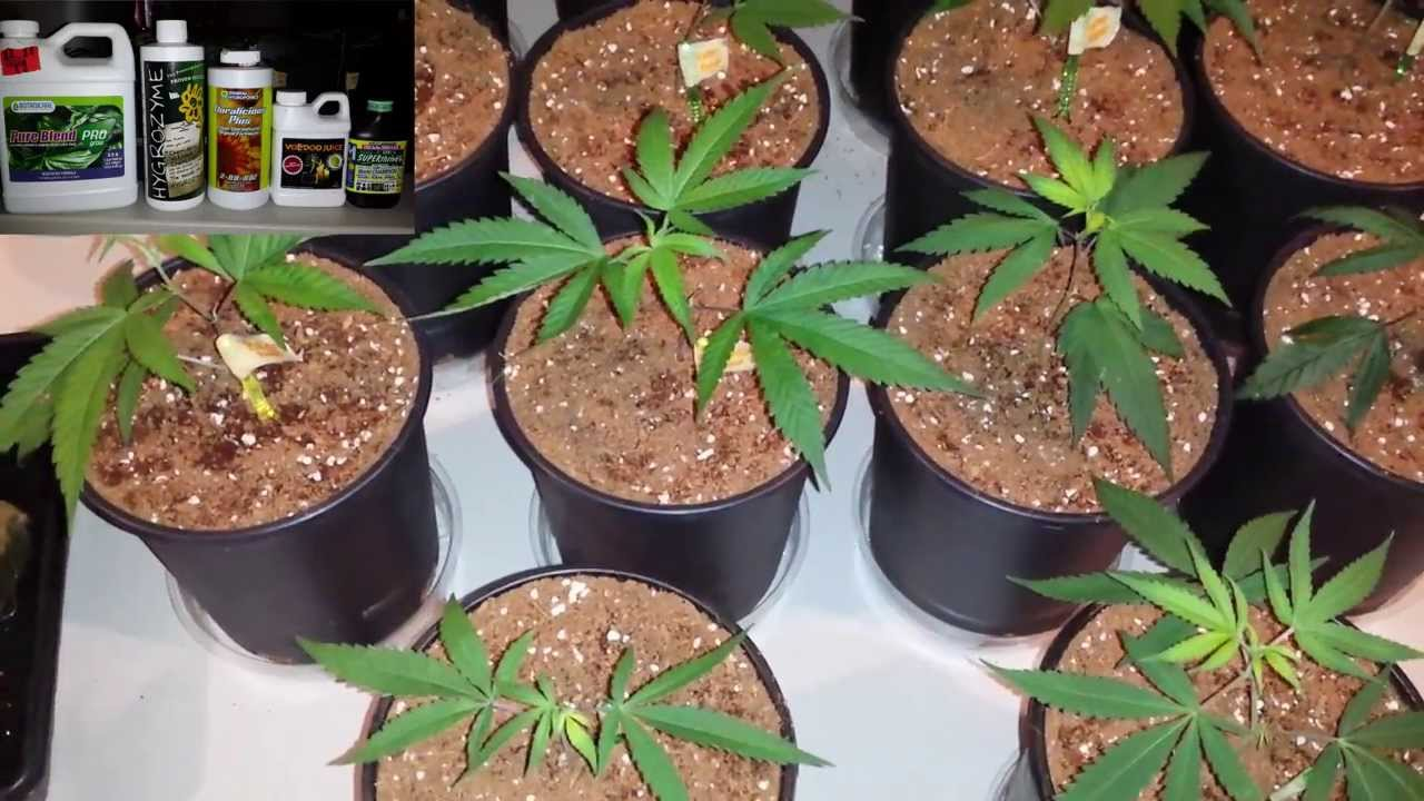 How To Grow Cannabis In Coco Clone To Coco Transplant