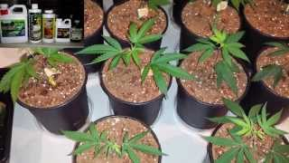How to grow cannabis in coco. Clone to coco transplant