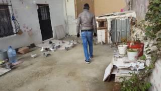 Gambar cover İBRAHİM KÖKSAL mardin taklaci güvercinleri part 2