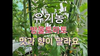 ( 베란다텃밭정원가꾸기 )친환경 유기농 방울토마토 집안…