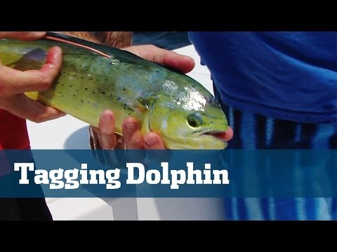Dolphin Tagging Study Equals Big Results  - Florida Sport Fishing TV