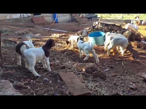 Unity Goat Farm, Manchester, Jamaica