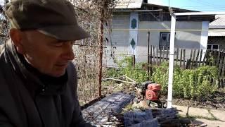 Выращивание корнесобственных саженцев винограда