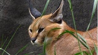 Дикий мир животных. Хищники Африки. Документальный фильм National Geographic.