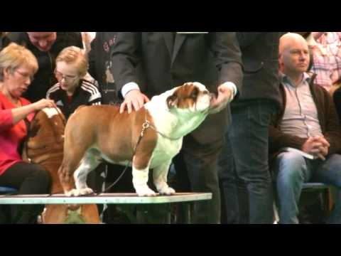 English Bulldog in Crufts 2017 C