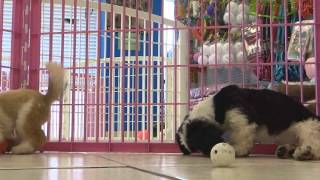 Shih Tzu, Puppies , For, Sale, In Staten Island, New York, Ny, Brooklyn, County, Borough
