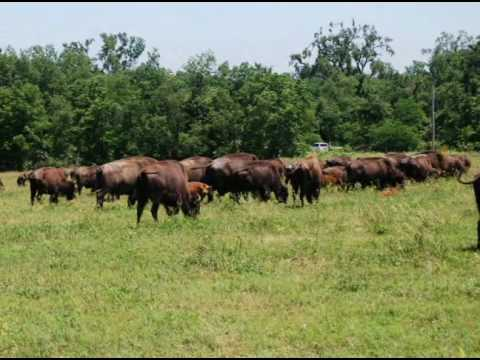 Buffalo on Prairie Band Potawatomi Reservation in Mayetta, Kansas.wmv