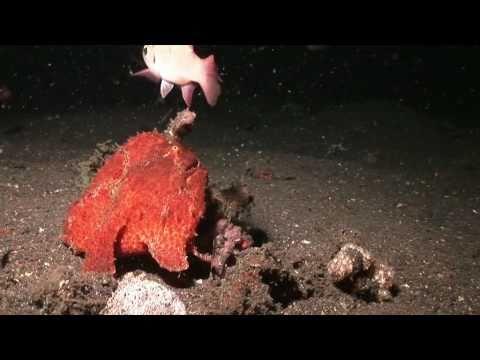 Crazy Giant Frogfish eats Cardinalfish whole!