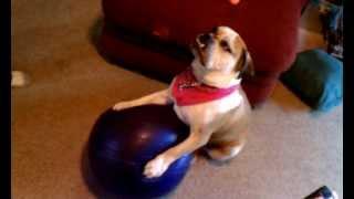 Dog Tricks. English Bulldog Puppy Training.