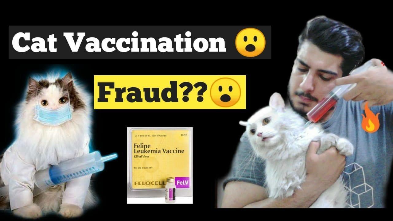 Cat Vaccination Original Cat Vaccination Price Persian Cat Vaccination Cat Vaccination Schedule Youtube