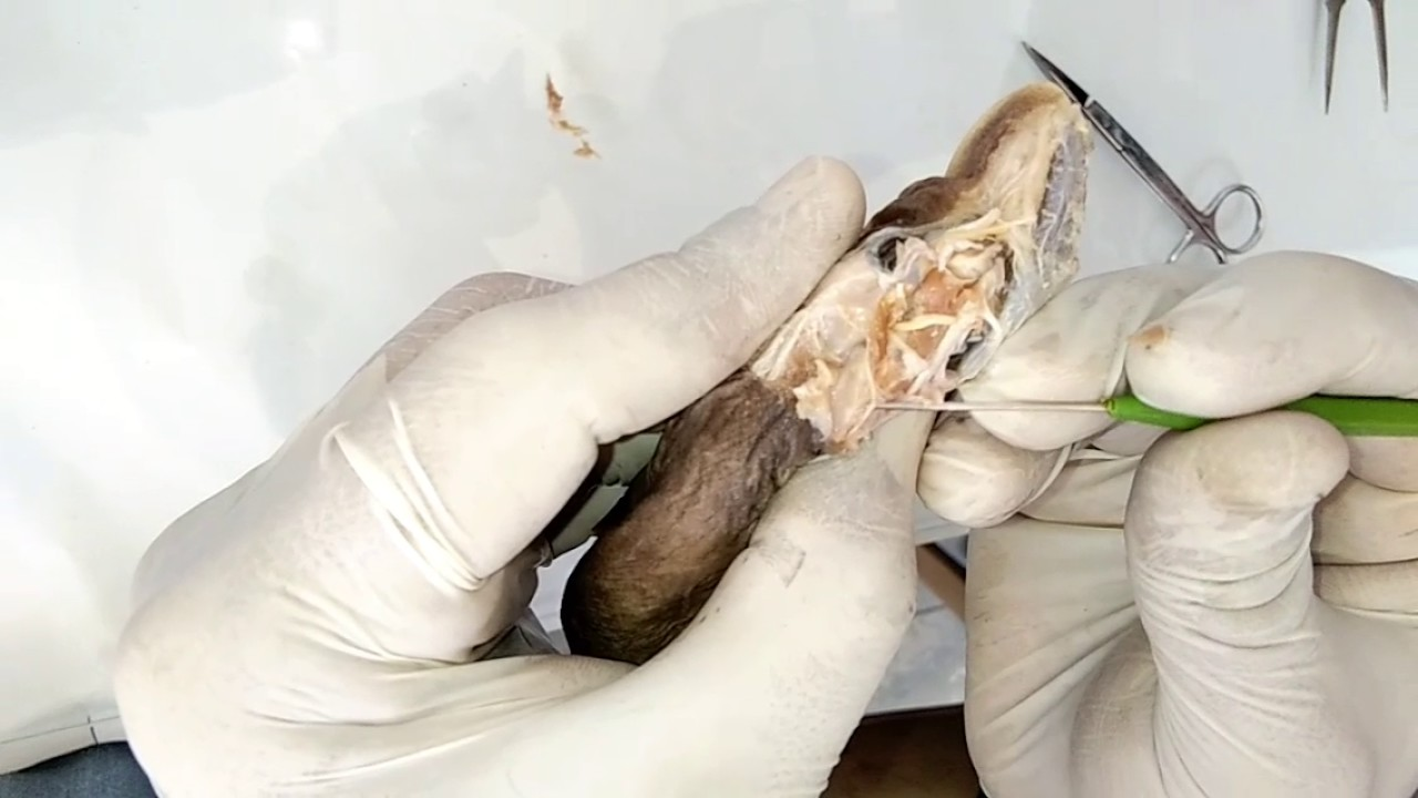 Dissection of cranial nerves of scoliodon by dr haidar ali khan dissection of cranial nerves of scoliodon by dr haidar ali khan ccuart Choice Image