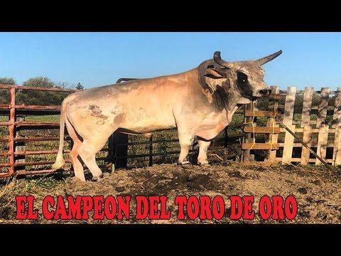 EL TORO CAMPEON DEL TORNEO TORO DE ORO EN CHICAGO!!