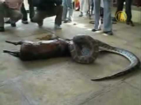 Python swallowes a deer alive, then spits it out from YouTube · Duration:  1 minutes 16 seconds