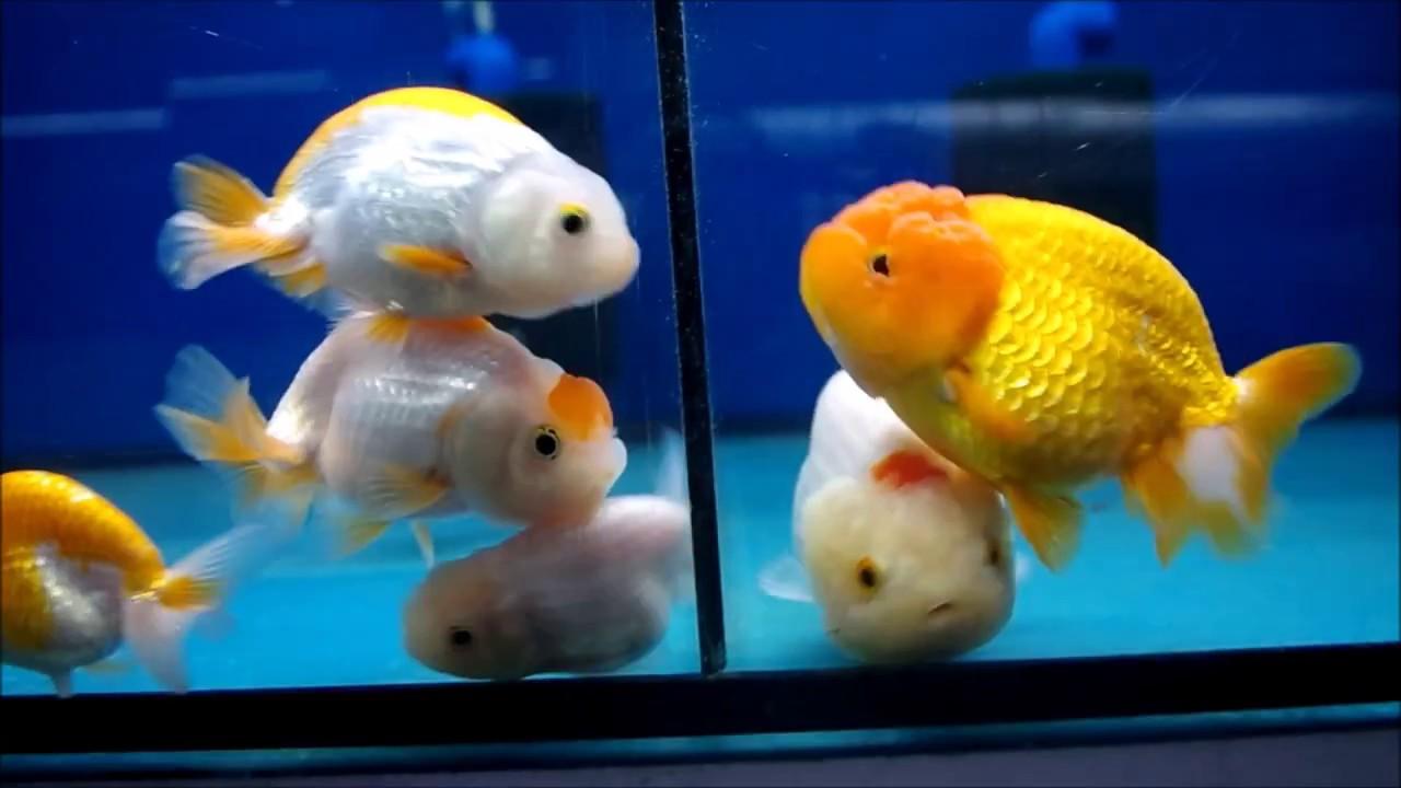 Lionhead Goldfish - Cartimar Market, Manila, Philippines