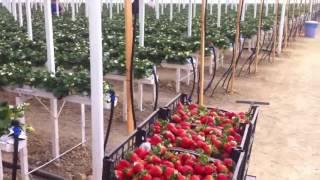 Теплица для выращивания клубники Niva Greenhouse СПК Нива(Теплица для выращивания клубники Niva Greenhouse СПК Нива/ +7 928 511 10 70 Компания СПК