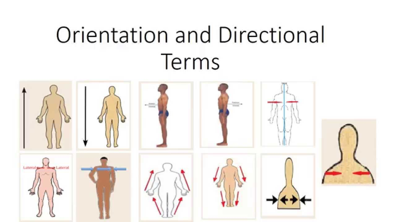 Human Anatomy: Orientation and Directional Terms - YouTube