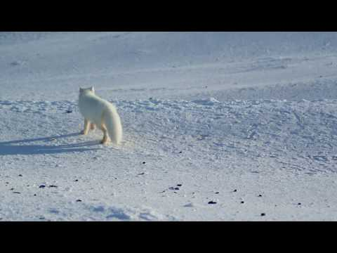 The grooming habits of the Arctic Fox! | Alaska: A Year In The Wild | Channel 5