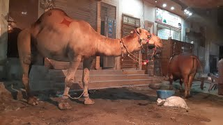 Camel For Qurbani Eid 2018 In Lahore Samanabad C
