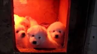 Пиренейская горная собака  Умильная тусня месячных щенков